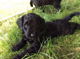 Sprockerpoo puppies ready the first week of July