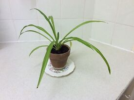 Small House Plant Spider Plant