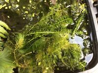 Oxygenating pond weed