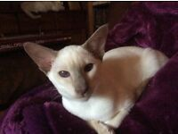 Lilac Point Siamese Boy! Ready now!
