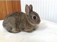 Netherland Dwarf Baby Rabbit ( purebred )