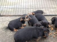 Jack Russell x Yorkshire terrier puppy's for sale
