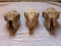 3 Sheep's skulls all in good condition