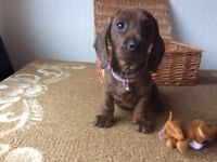 Miniature smooth dachshunds