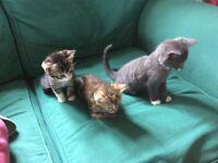 Beautiful Kittens for sale, Black boy, Grey boy, tortoishell girl, tabby girl, tabby boy