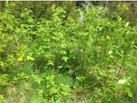 Mature raspberry plants