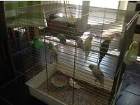 8 Budgies for sale including cage only £130 Ono Bargain price