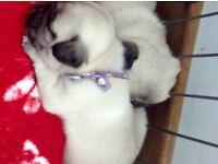 White /silver gene pugs 4 week old ready to leave from 15th August