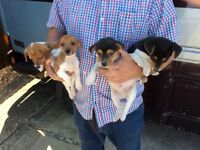 Jack Russell puppy's
