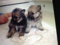 8 weeks Puppies. 395. Romford. Essex