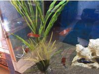 x4 Swordtail Tropical Fish