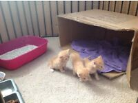 Bengal X Burmese kittens