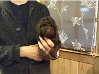 Toy poodle puppy (Ready Now! )