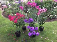 Large 4 Litre Phlox Paniculata Hardy Herbaceous Perennial Plants For Sale in Many Colours.