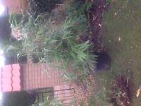 Large broad leaf arrow bamboo plant