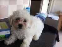 Bichon frise puppy!!!!