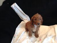 7 Beautiful golden cockapoo puppys fully health tested ..