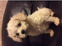 Beautiful Cavachon puppies for sale, all three male. Can be seen with mother and father.