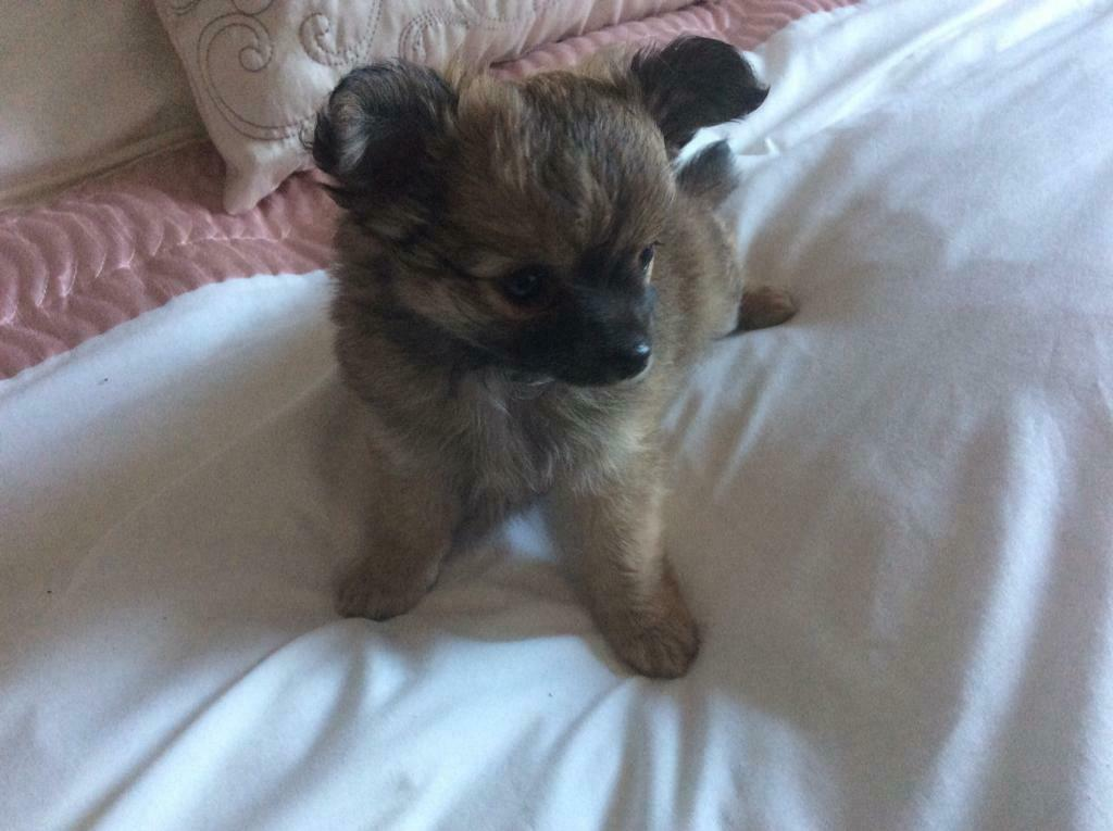 3 Beautiful KC registered Chihuahua Puppies | in Carlisle, Cumbria | Gumtree