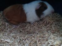 babyboy guiny pig 8weeks old