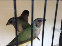 Gouldian Finches For Sale (3) Hens