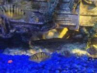 South American Cichlids,young.