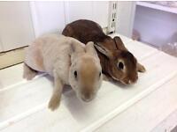 Baby Dwarf Rex Rabbits
