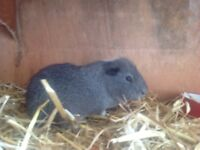 Two lovely friendly guinea pigs and two hutches for sale £25
