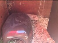 Guinea pig 5 males and 2 females left