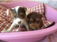 Outstanding chocolate and tan jack Miniature Russell puppies