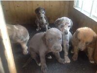 Collie greyhound,bedlington greyhound puppies for sale