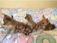 Six 3/4 Chihuahua Puppies for Sale!