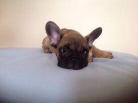 Last beautiful french bulldog puppy ready now