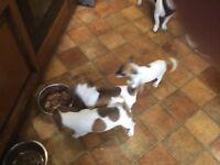 Jug Puppies 3 female - Swansea S.Wales