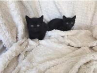 Lovely little all black male kitten - Fully litter trained flea& worm treated