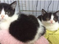 Black and white kittens for sale one female one male Burmese cross British blue