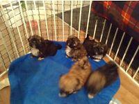 5 shih tzu pups for sale