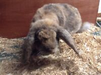 french lop buck for sale