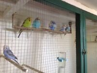 Adult Pied budgies
