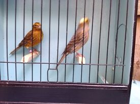 Lizard Canaries for sale