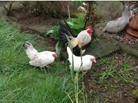 Laying hens and bantams for sale