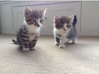 3 Beautiful Kittens for Sale.