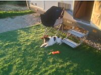 9 month old, male, jack russell.