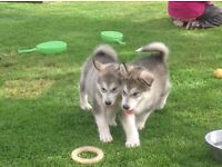 Alaskan Malamute Puppies complete with Kc reg etc
