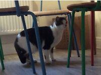 Pet cat, Freddie, 2 years old, free to good home.