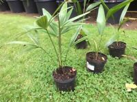 Palm Trees Hardy Young 1 Litre Size Trachycarpus Fortunei For Sale.