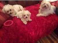K.C. Registered Maltese puppy