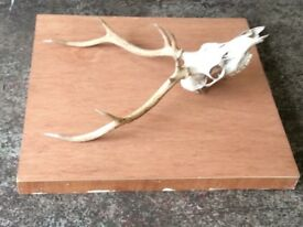 Large set red deer antlers nice