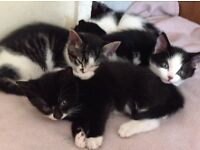 3 Female and 1 Male kittens four sale