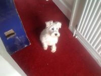 Schnauzer min ( white ) pup kc reg , full injections , 16 wks old , vet checked , brother & sister
